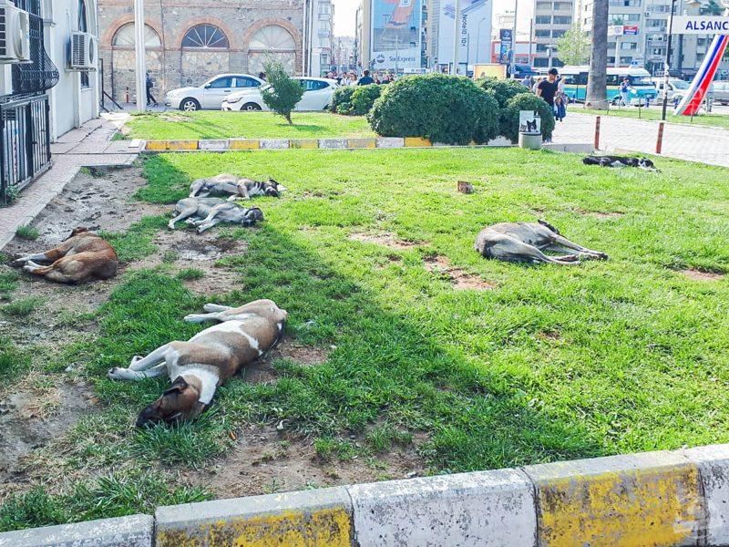 chiens errants Izmir